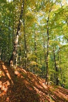 Primo fogliame giallo autunnale nella soleggiata foresta di faggi di montagna