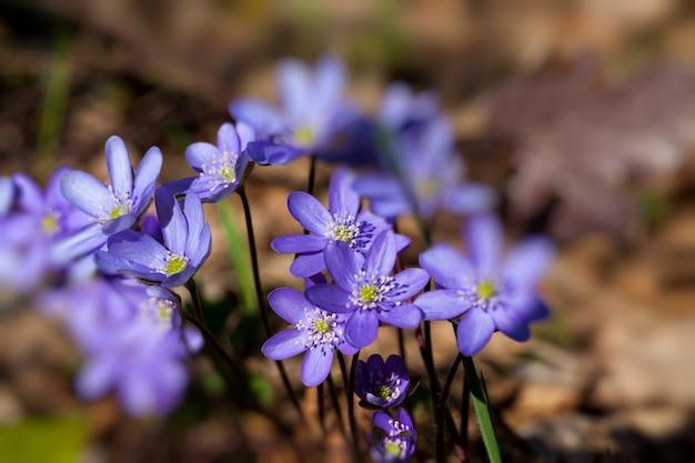 La prima fioritura nel bosco
