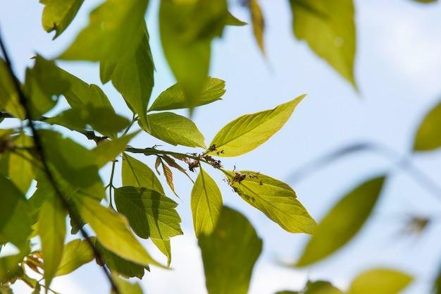 Primi alberi in fiore cenere in primavera