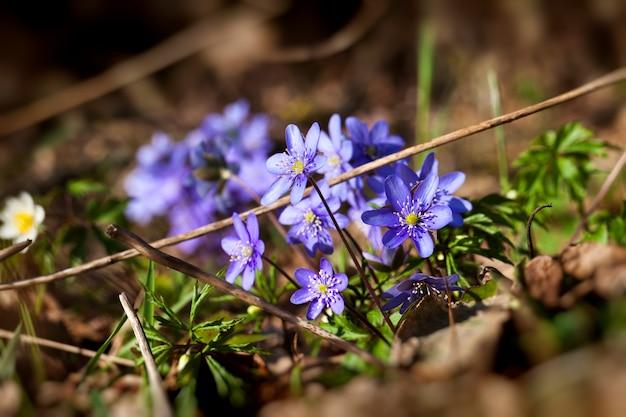 I primi fiori che crescono nei boschi e nei parchi in primavera e in estate
