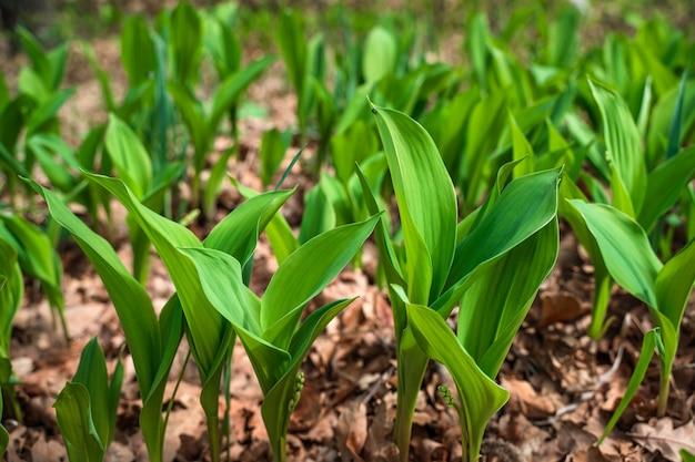 Le prime foglie dei fiori primaverili dei mughetti nella foresta