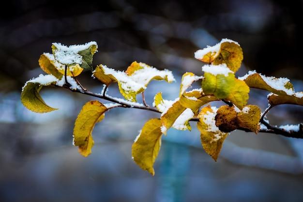 La prima neve su un ramo con foglie gialle, l'inizio dell'inverno