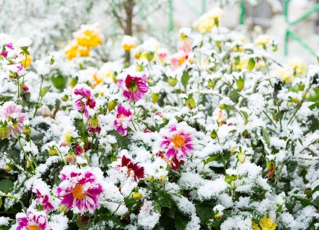 Prima neve sui fiori in un giardino