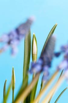 I primi fiori di bucaneve nella stagione primaverile, crescendo fiori di bucaneve con boccioli e foglie verdi