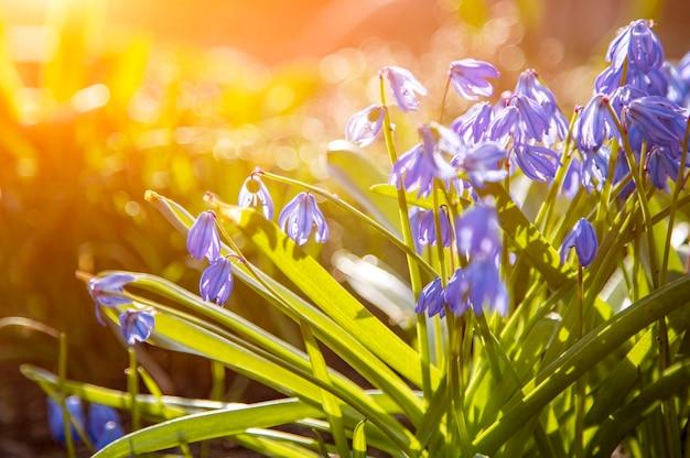I primi fiori primaverili bucaneve blu al sole closeup messa a fuoco morbida messa a fuoco creativa e sfocatura