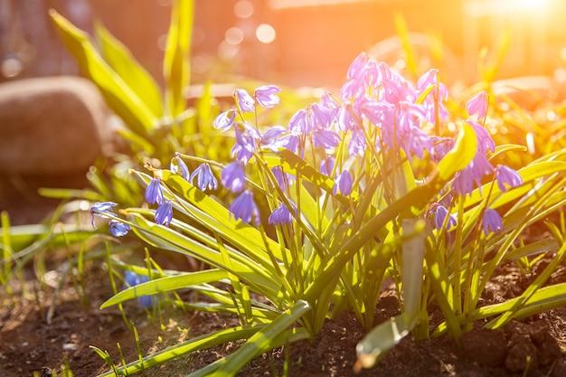 Primi fiori primaverili bucaneve blu nel primo piano del sole fuoco morbido, messa a fuoco creativa e sfocatura