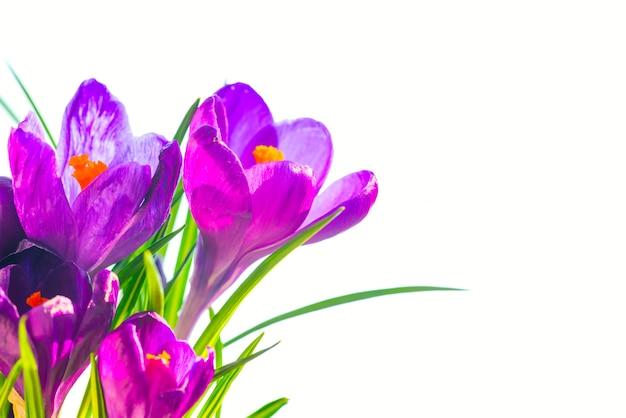 Primi fiori primaverili - bouquet di iris viola isolato su sfondo bianco con copyspace