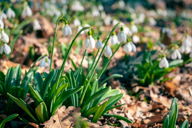Primo piano di bucaneve di galanthus dei primi fiori di primavera nella foresta.