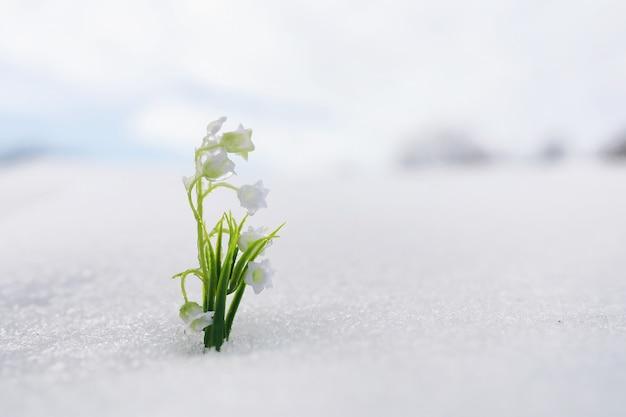 I primi fiori primaverili. i bucaneve nella foresta crescono dalla neve. il mughetto bianco fiorisce sotto i primi raggi del sole primaverile.