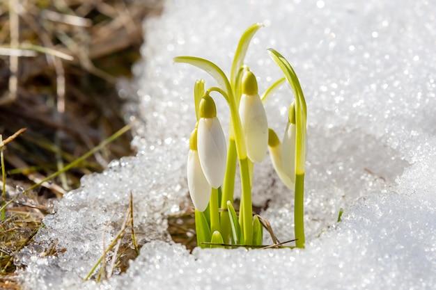 I primi fiori primaverili dei bucaneve si fanno strada al sole in mezzo alla neve