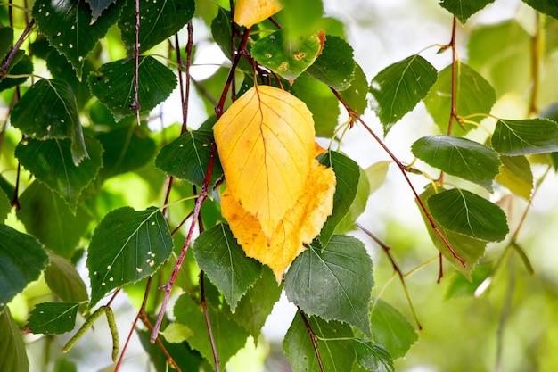 Le prime foglie gialle sulla betulla. inizio autunno nel bosco