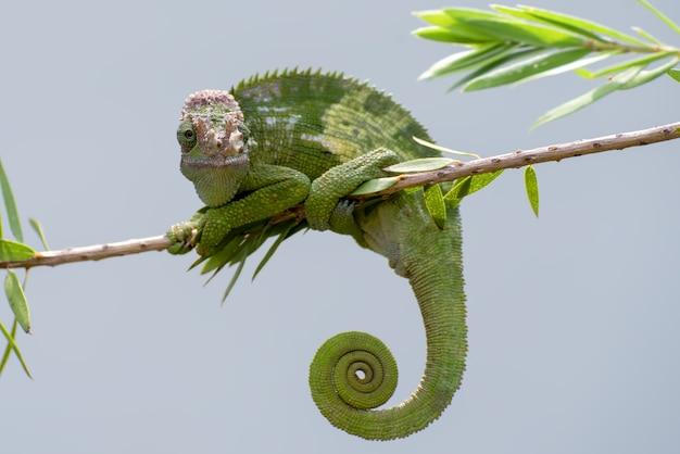 Camaleonte di fischer che appende su un albero