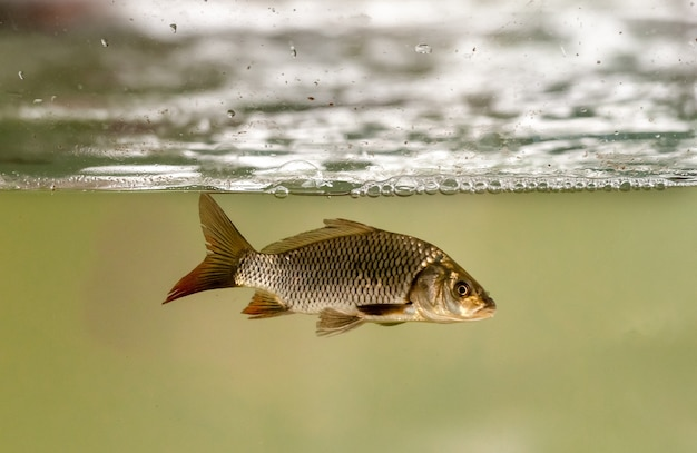 Pesci in acquario per la piscicoltura. carpe, tambaqui e tilapie. piscicoltura.