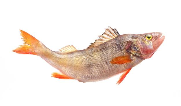 Pesce persico su sfondo bianco
