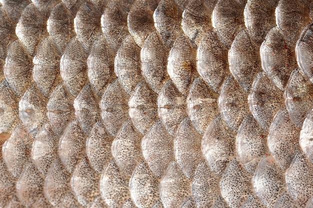 Trama di squame di pesce. foto motivo geometrico carpa crucian carassius squamosa con linea laterale. messa a fuoco selettiva.