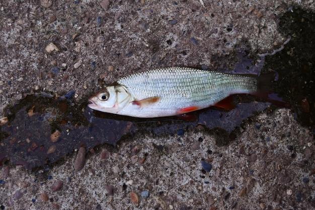 Pesce con pinne rosse. ide di pesce d'acqua dolce su fondo di cemento. pesce vivo,