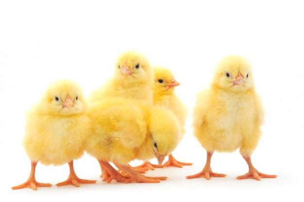 Cinque polli isolati