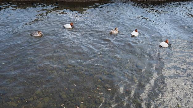 Cinque anatre che nuotano e fiume che ondeggia e natura all'aperto.