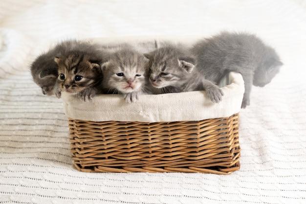 Cinque piccoli gattini multicolori si siedono in un cestino di vimini marrone