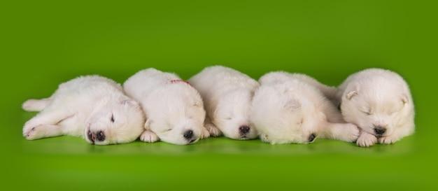 Cinque piccoli simpatici cuccioli di samoiedo bianchi di un mese.