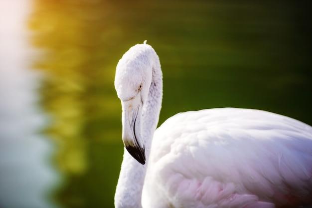 Flamingo nel lago