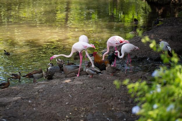 Fenicottero, gallo, pollo, anatra vicino all'acqua della fattoria.