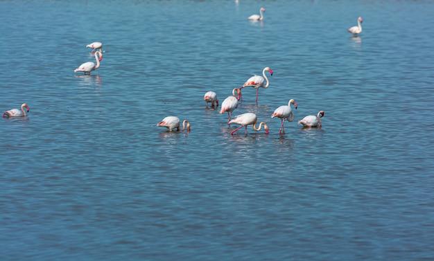 Fenicotteri uccello in acqua