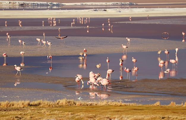 Fenicotteri sgargianti al pascolo nella laguna colorada laguna rossa nel dipartimento di potosi bolivia