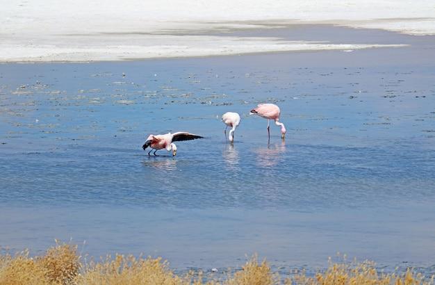 Fenicotteri al pascolo nelle acque saline poco profonde della laguna hedionda lake, bolivia