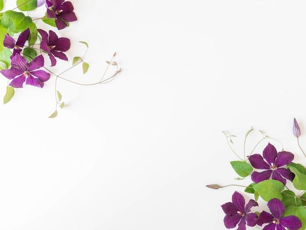 Composizione piana di disposizione dei fiori e delle foglie della clematide porpora isolati su bianco. vista dall'alto.