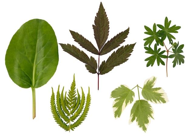 Lo strato piatto di foglie di varie piante è isolato su uno sfondo bianco.