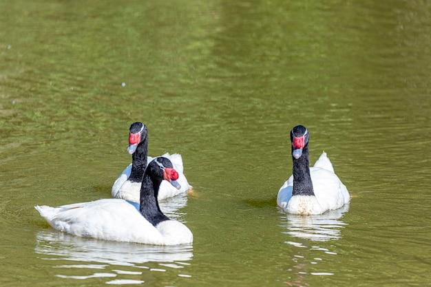 Una flotta di anatre bianche che nuotano in fila nello stagno verde.