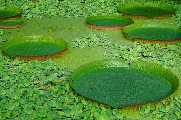 Ninfee giganti galleggianti, vita naturale. victoria amazonica