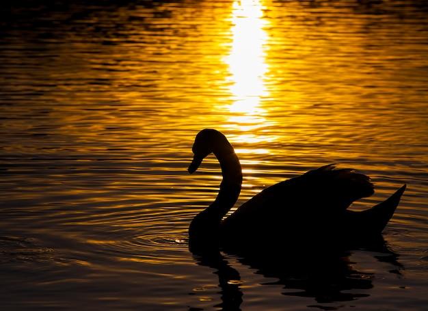 Galleggiante al tramonto un cigno, cigno in primavera nei raggi dorati durante il tramonto, primavera sul lago con un cigno solitario, primo piano
