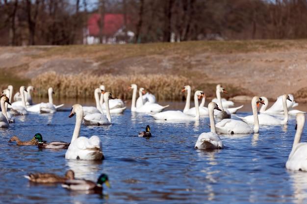Galleggiante sull'acqua un gruppo di cigno bianco, uccelli della stagione primaverile, fauna selvatica con cigni e uccelli acquatici durante l'allevamento primaverile, primo piano