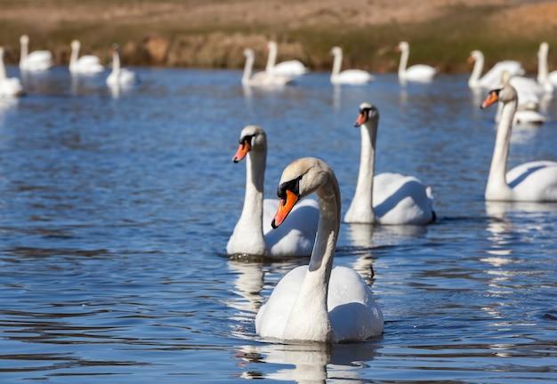 Galleggiante sull'acqua un gruppo di cigno bianco, uccelli della stagione primaverile, fauna selvatica con cigni e uccelli acquatici durante l'allevamento primaverile