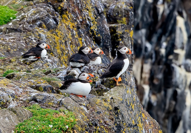 Una moltitudine di pulcinella di mare - frercercula arctica- su una scogliera della costa in scozia. isola di maggio