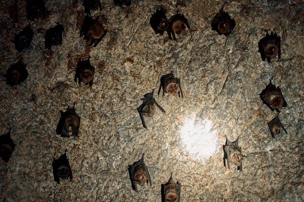 Uno stormo di pipistrelli dorme sul soffitto di una grotta. con una torcia nella grotta dei pipistrelli