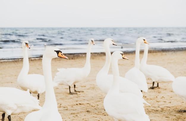 Uno stormo di splendidi uccelli bianchi di cigni sulla costa del mare freddo. spiaggia del mar baltico in inverno.
