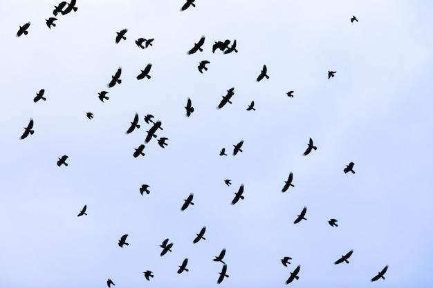 Uno stormo di corvi di uccelli che volano nel cielo. concetto di folla.