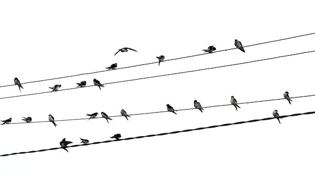 Uno stormo di uccelli si siede sui cavi elettrici