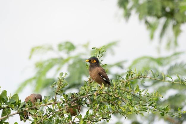 Un gregge di myna comune o acridotheres tristis a volte scriveva mynah perchec sull'albero