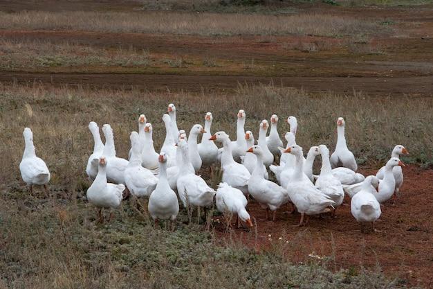 Uno stormo di oche bianche domestiche o selvatiche sull'erba autunnale nel cortile. uccello domestico. allevamento di uccelli