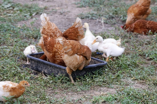 Stormo di anatroccoli e pollo si allevano insieme nell'allevamento di pollame