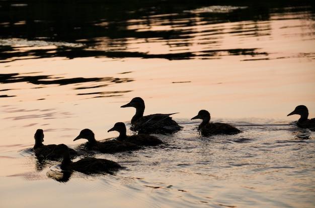 Stormo di anatre che nuotano in un lago, lago of the woods, ontario, canada