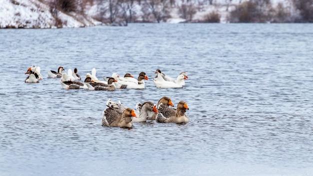 Uno stormo di oche nuota sul fiume in inverno