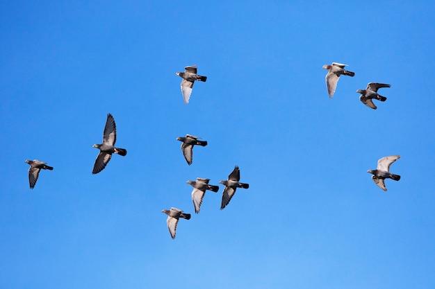 Stormo di piccioni viaggiatori che volano contro il cielo blu chiaro