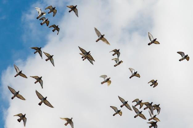 Stormo di piccioni viaggiatori che volano contro il cielo nuvoloso