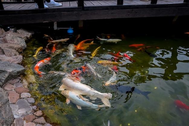 Uno stormo di carpe koi giapponesi nuota molto vicino alle rocce per afferrare il cibo che galleggia sulla superficie dello stagno