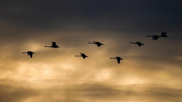 Stormo di cigni muti che volano nel cielo nel tramonto estivo